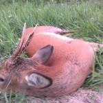 Buk skudt af Bo Pedersen d. 13. juni