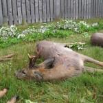 Bukkepral sfjf 2011 010